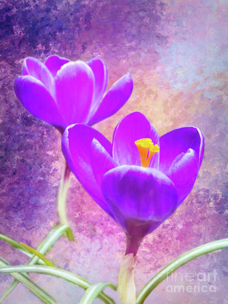 Our First Crocuses This Spring Poster