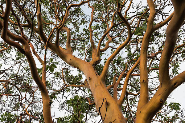 Pacific Madrone Trees Poster