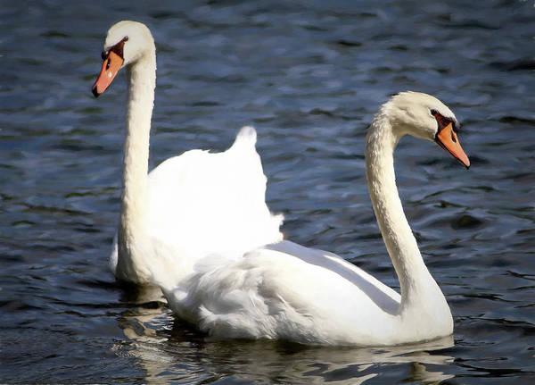 Painted Mute Swans Of Lake Junaluska North Carolina II Poster