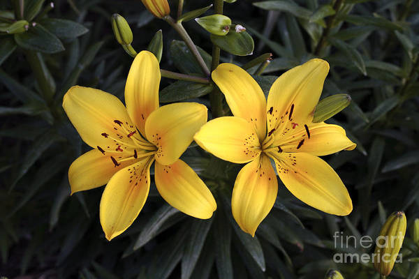 Pair Of Yellow Lilies Poster