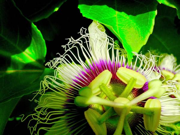 Passion Flower 2 Reflecting Poster