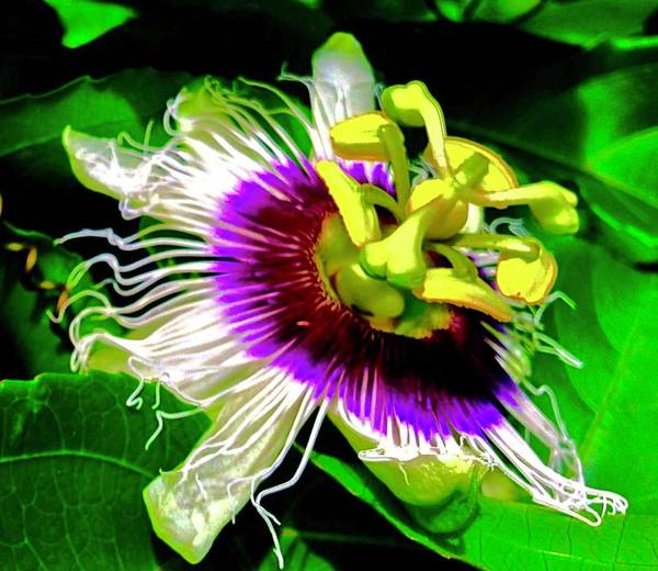 Passion Flower 3 Uplift Poster