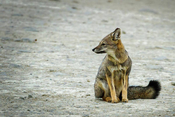 Patagonia Fox - Argentina Poster