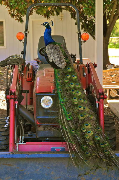 Peacock And His Ride Poster