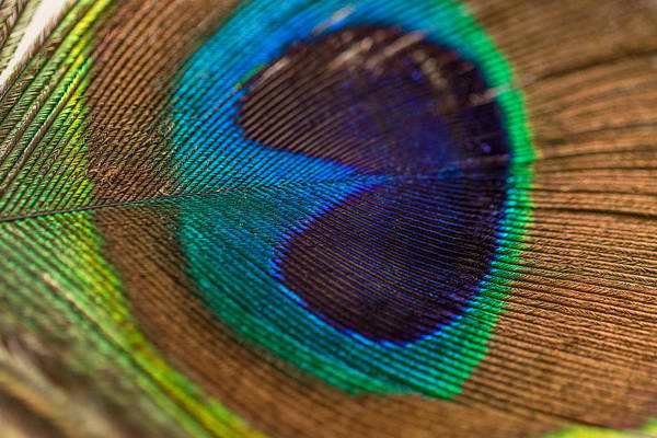 Peacock Feather Macro Detail Poster