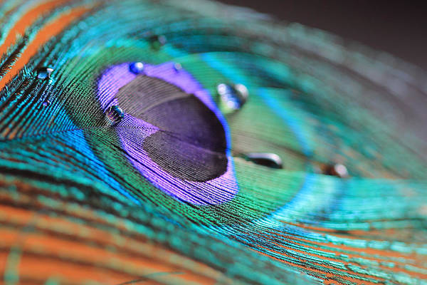 Peacock Feather With Water Drops Poster