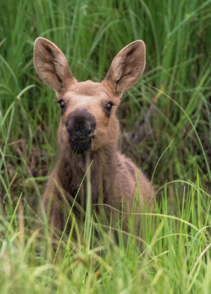 Peeking Baby Moose Poster