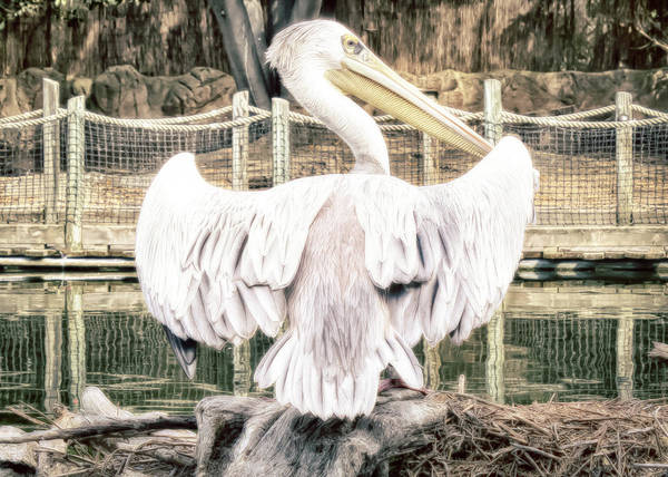 Poster featuring the photograph Pelican by Alison Frank