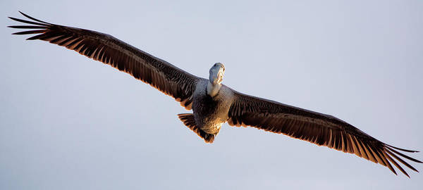 Poster featuring the photograph Pelican In Flight by David Buhler