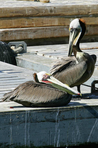 Pelican On The Dock Poster