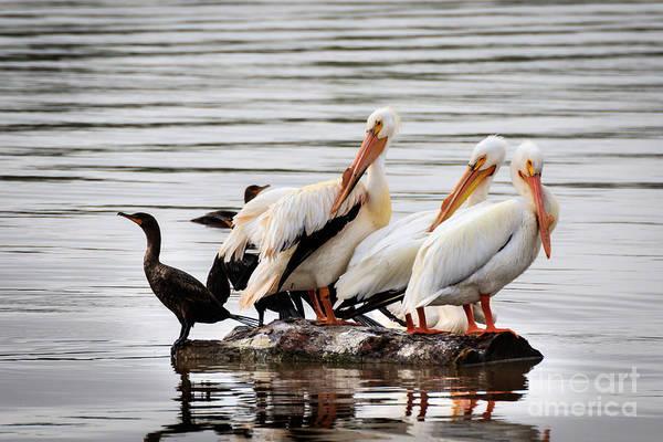 Pelicans And Cormorants Poster