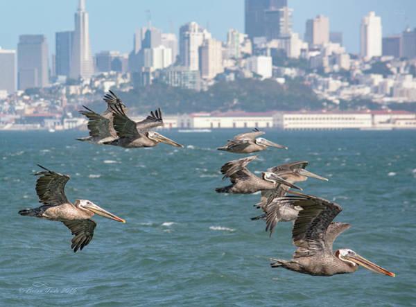 Pelicans Over San Francisco Bay Poster