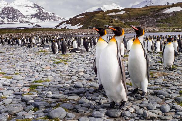 Penguins Of Salisbury Plain Poster