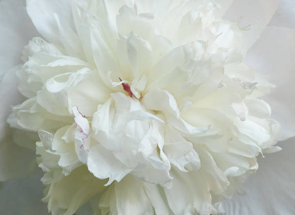Peony In White Poster