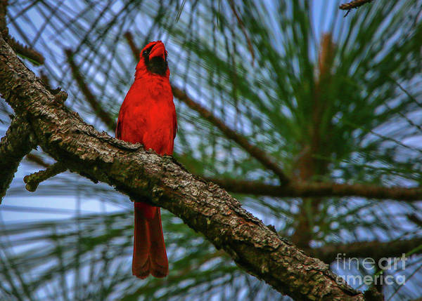 Poster featuring the photograph Perched Cardinal by Tom Claud