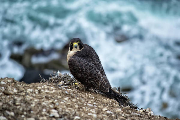 Peregrine Falcon - Here's Looking At You Poster