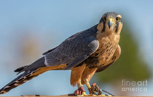 Peregrine Falcon Wildlife Art By Kaylyn Franks Poster
