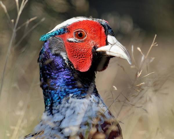 Pheasant Portrait Poster