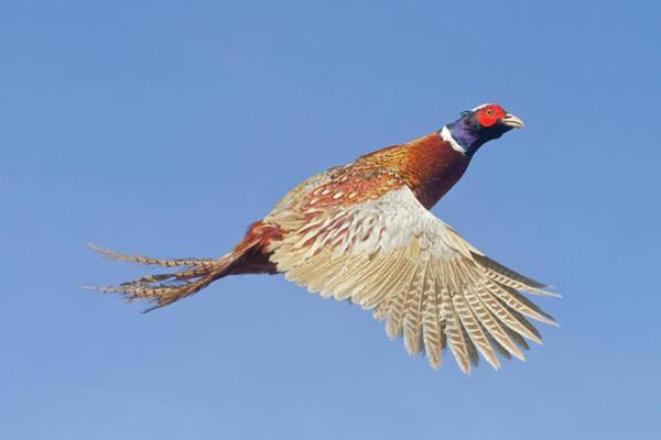 Pheasant Wings Poster
