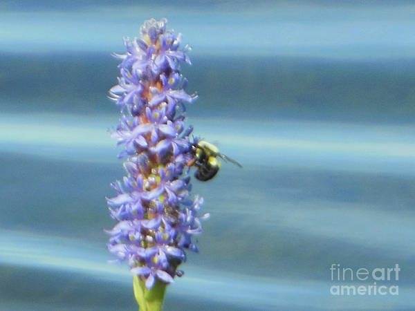 Pickerelweed Bumble Bee Poster