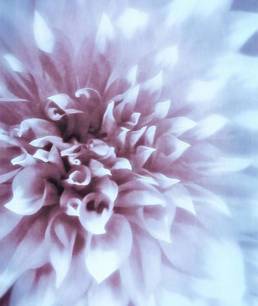 Pink And Blue Dahlia Poster