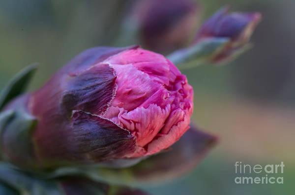 Pink Carnation Bud Close-up Poster