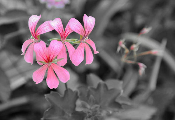 Pink Flowers On A Monochrome Background Poster