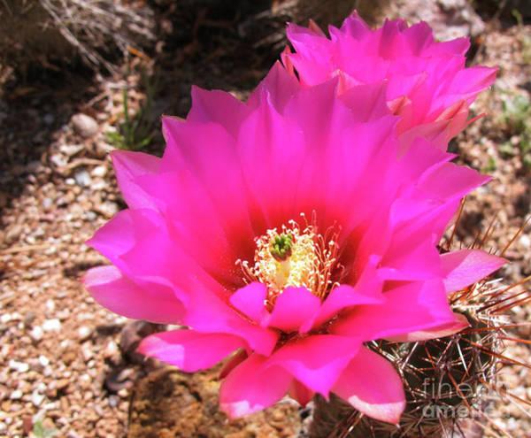 Pink Hedgehog Flower Poster