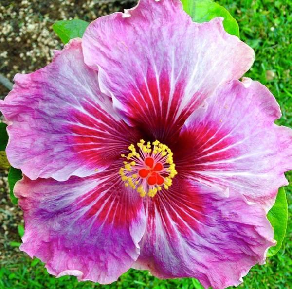 Pink Hibiscus Joyous Cosmology Poster