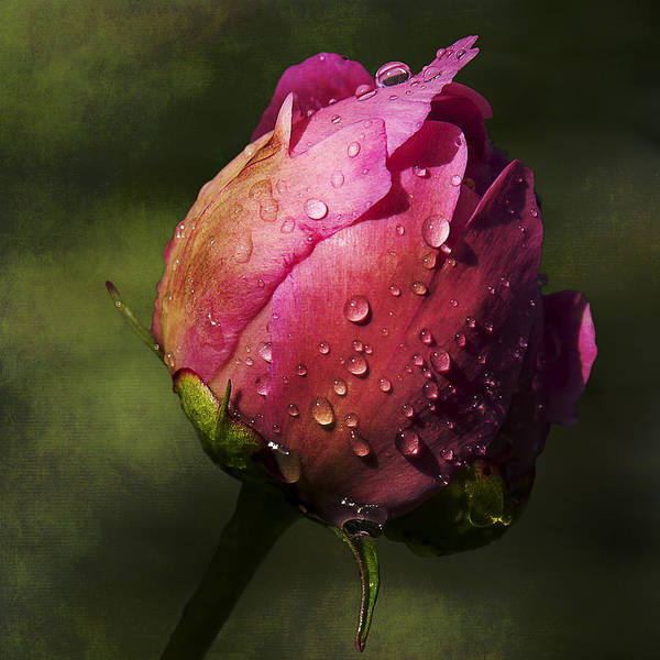 Pink Peony Bud With Dew Drops Poster