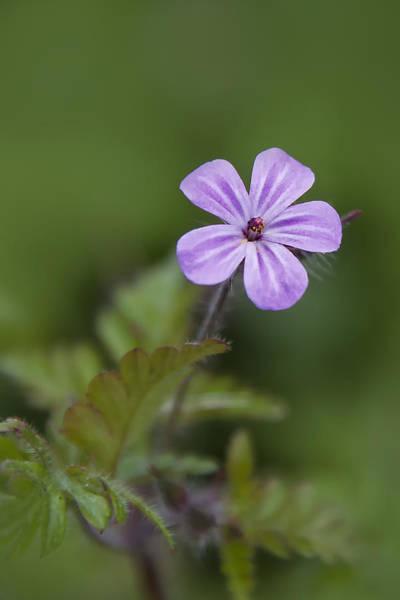 Pink Phlox Wildflower Poster