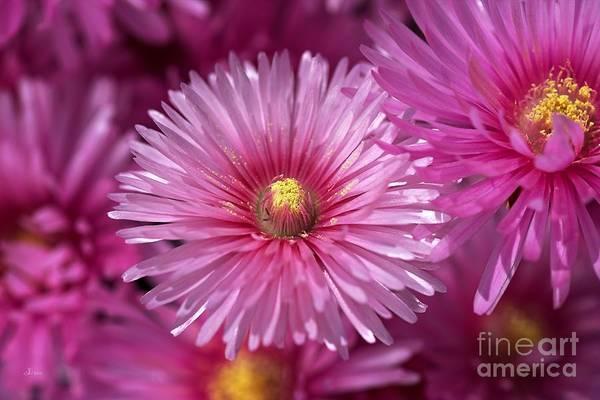 Pink Pigface Flowers Poster