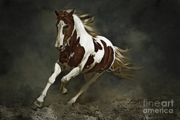 Pinto Horse In Motion Poster