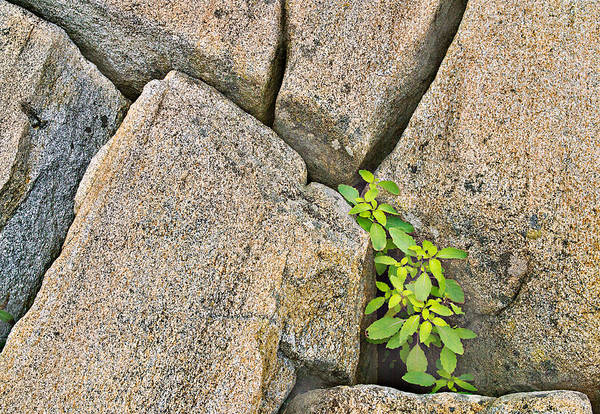Plant In Granite Crevice Abstract Poster