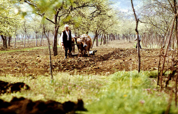 Poster featuring the photograph Ploughing In The Orchard by Emanuel Tanjala