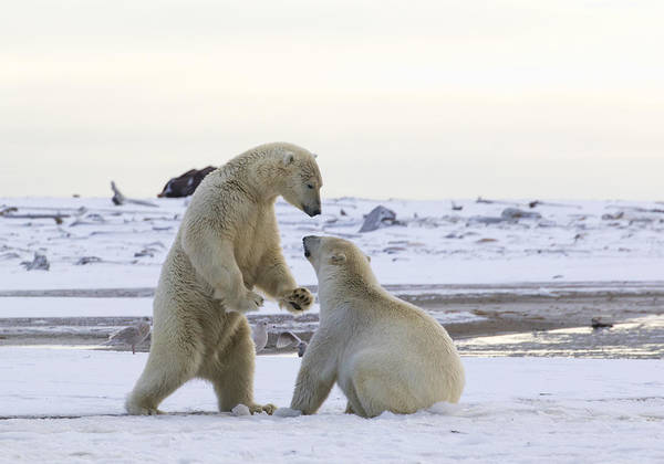 Polar Bear Play-fighting Poster