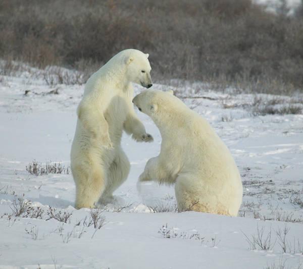 Polar Bears Jousting Poster