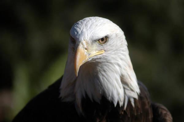 Portrait Of A Bald Eagle Poster