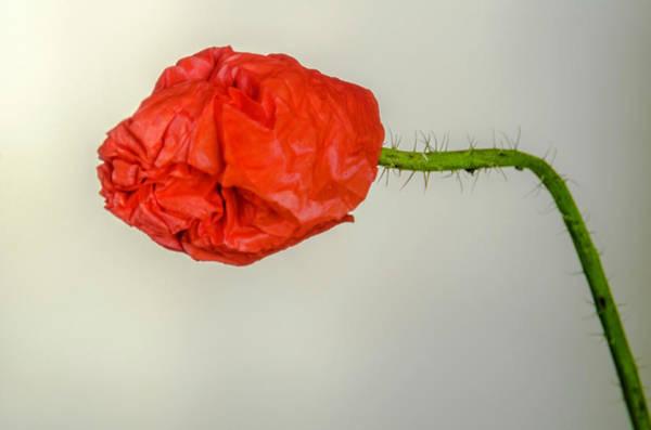Posing Fire Red Poppy Poster