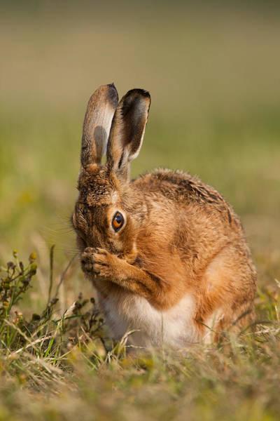 Praying Hare Poster