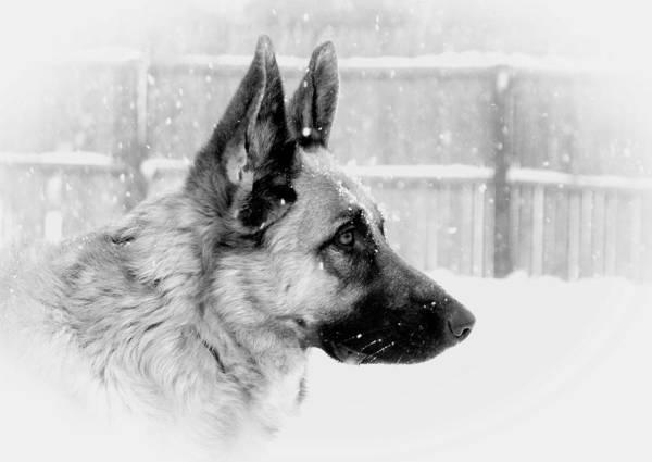 Profile Of A German Shepherd Poster