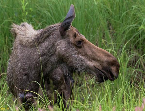 Profile Of Wild Moose Poster