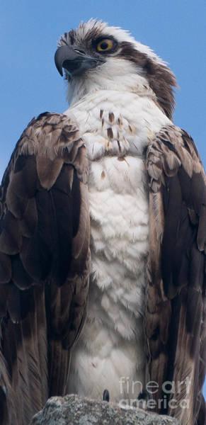 Proud Hawk Poster