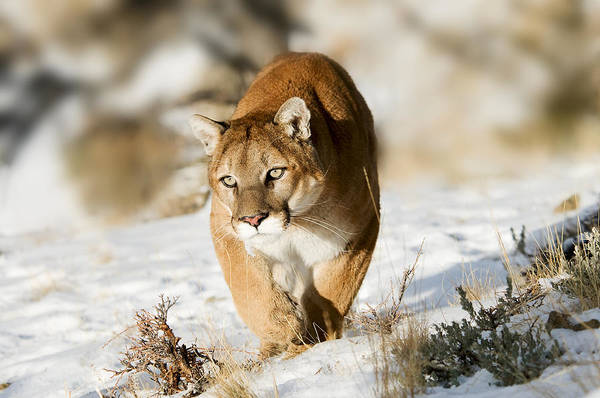 Prowling Mountain Lion Poster