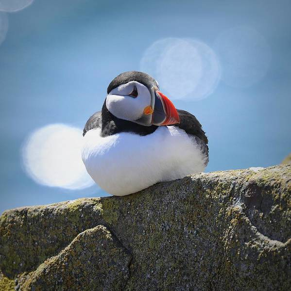 Puffin Time Poster