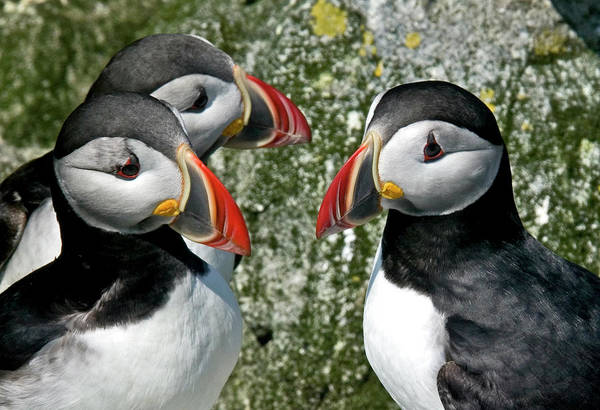 Puffins Together Poster