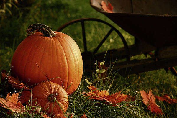 Pumpkins In The Grass Poster