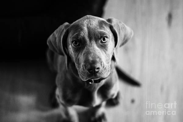 Puppy - Monochrome 1 Poster