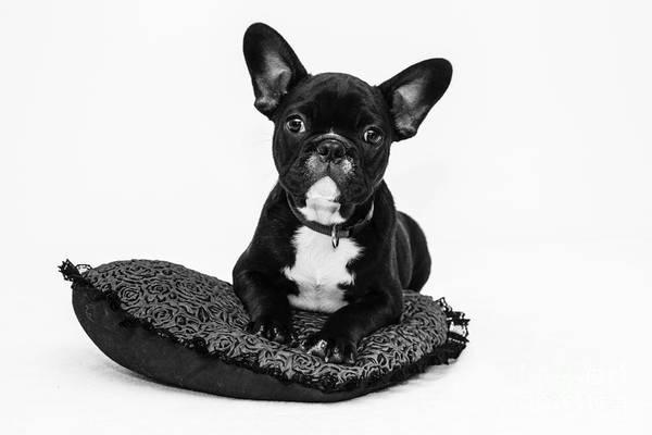 Puppy - Monochrome 5 Poster