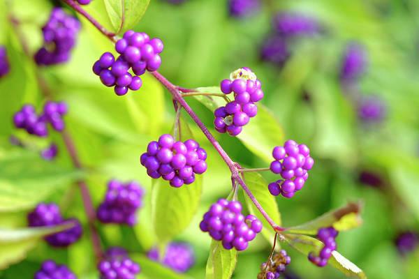 Purple Berries Poster